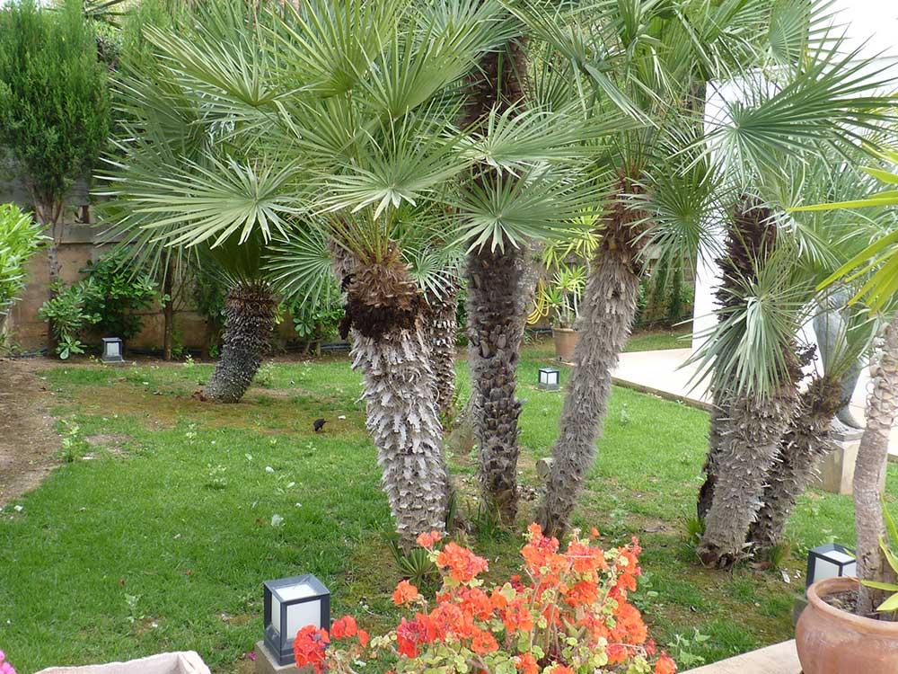 Ferienh user ferienwohnung auf mallorca protur villas for Pinos para jardin